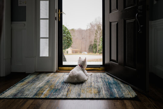 Cute white dog lying by a front door looking out over the neighborhood