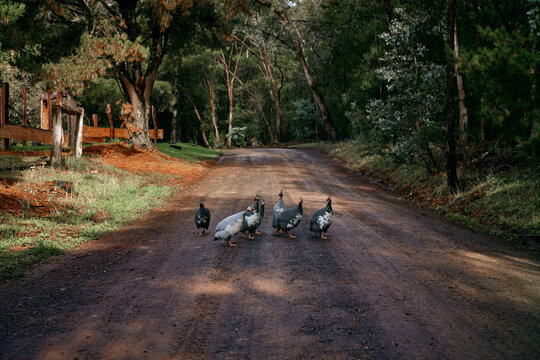 Guinea Fowl wandering on a country laneway