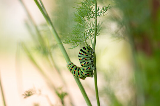 Common yellow swallowtail caterpiller climbing on dill