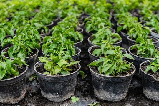 Pattern of growing plants in jars in greenhouse