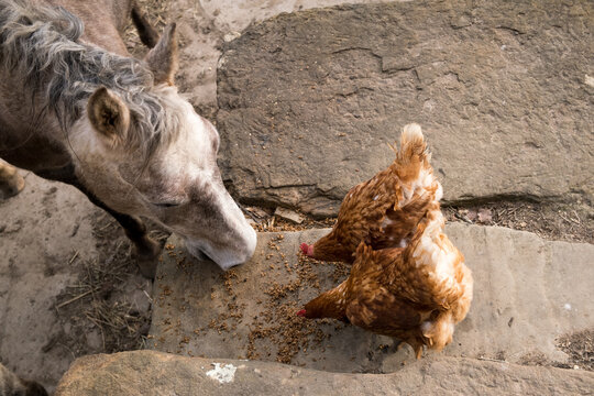 Overhead view of horse and chickens