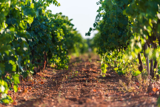 Row of bushes with green leaves on grape plantation against