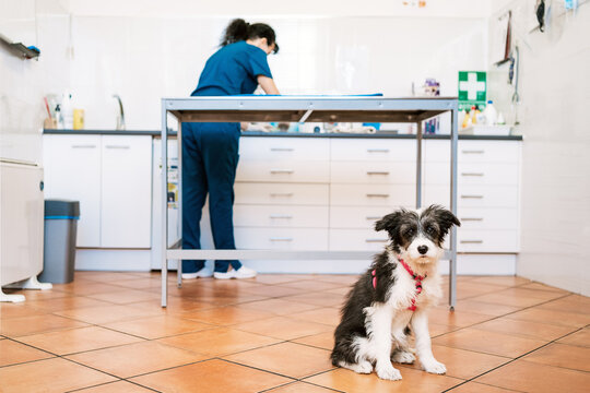 Dog sitting on floor of vet clinic looking at camera , veterinarian woman working on the background