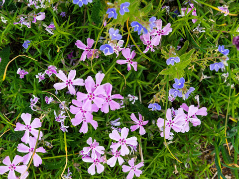 Creeping phlox, Phlox subulata, colorful ground cover plant blooming with pink flowers, closeup with selective focus