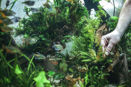 Man's Hand Doing Aquascape Arrangment of Aquatic Plants in Fish Tank with Pet Cat Watching