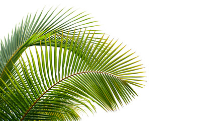 coconut palm leaves isolated on white background