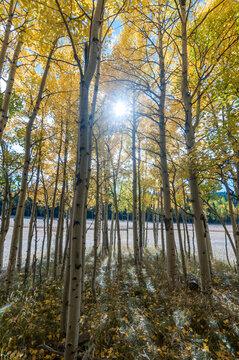 From the inside of an Aspen grove with sun light shinning through