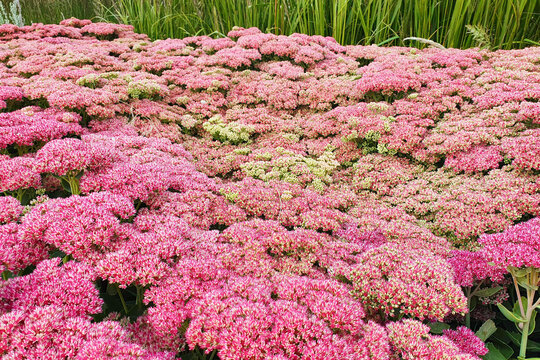 Hylotelephium or Sedum Herbstfreude or Stonecrop Autumn Joy. Red flowers a lot. Close up, selective focus