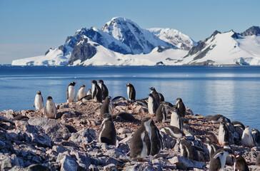 gentoo penguin group in antarctica
