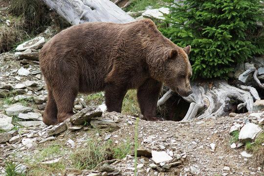 Nahaufnahme eines Braunbären