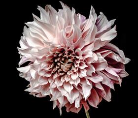 Photo sur Plexiglas Dahlia dahlia flower isolated on black