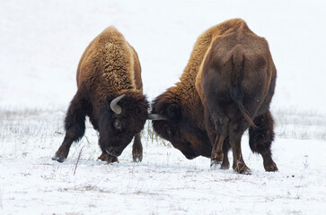 Two huge american bison fighting in snow.