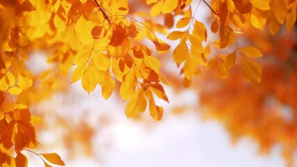 Wall Mural - Red and yellow autumn tree leaves over light sky background. Slow motion, 4K UHD.