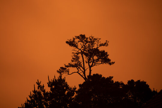 Monterey Cypress against the orange sky due to the Dolan fire in the Big Sur, during the fire season of 2020