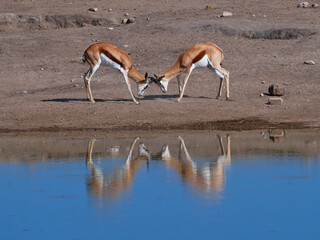 Two fighting black-faced impala antelopes (aepyceros melampus) dueling with their antlers at a waterhole reflecting in water in Kalahari desert, Etosha National Park, Namibia, Africa.