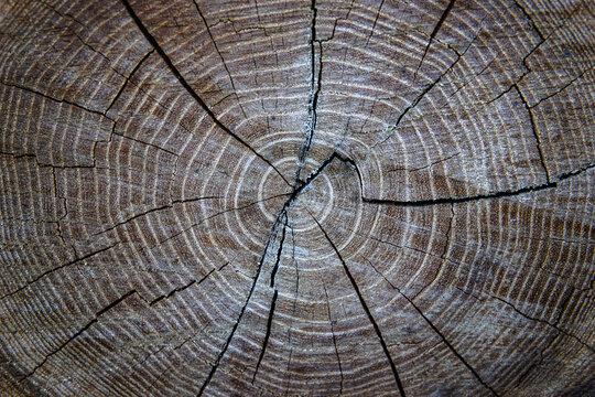 Oak, oak saw cut, oak texture, close-up.