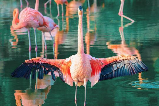 Pink flamingo spread its beautiful wings.