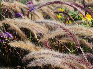 Dry erupted grass weigh in the wind and afterglow,  blurred background other plants. The dryness of the flowers are still full of seeds