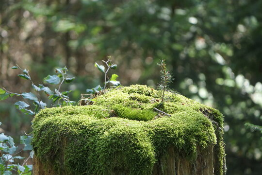 Moss on a sawn-off tree trunk with new, small trees that are now growing there. The old tree trunk is the basis for new life in the forest.