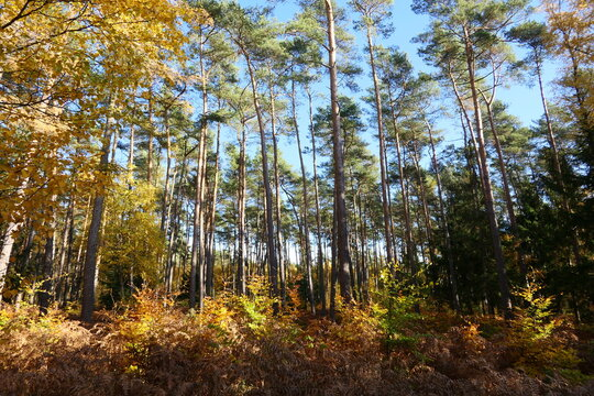 Fall foliage. Autumn forest in the morning. In a forest area, the leaves turn golden yellow to brown. A golden autumn day in October.