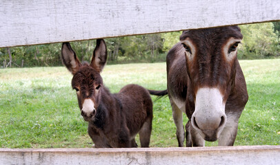 Curious female donkey with her donkey foal looking through fence.