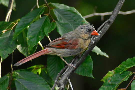 Female Northern Cardinal in molt