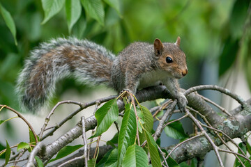 Grey Squirrel on a branch with leaves in background