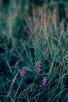 Vicia cracca flowers on green grass background. Outdoor summer lawn