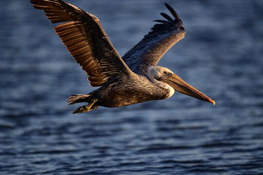 Brown Pelican, Scientific name: Pelecanus occidentalis in flight