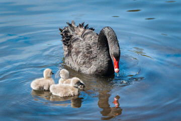 Black swan and her three cygnets swimming in a clear blue lake