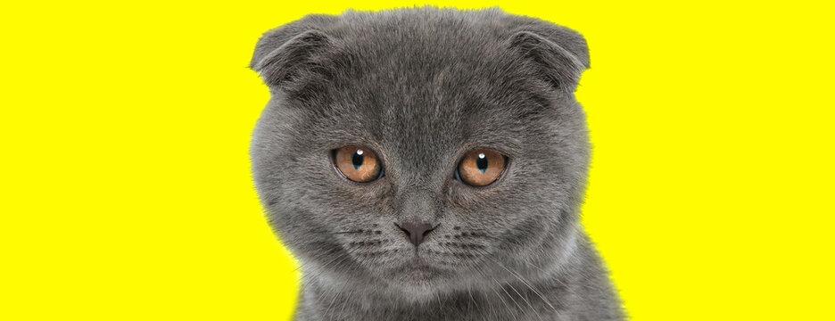 Sad Scottish Fold cat being bothered and upset