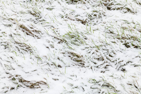 Blades of grass through a thin layer of fresh snow in a field