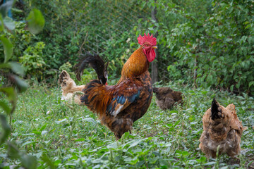 Photo sur Plexiglas Poules In the summer, a rooster and a hen are in the garden.