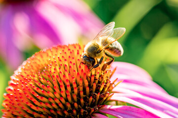 Printed roller blinds Bee Field of echinacea flowers with honey bee close-up