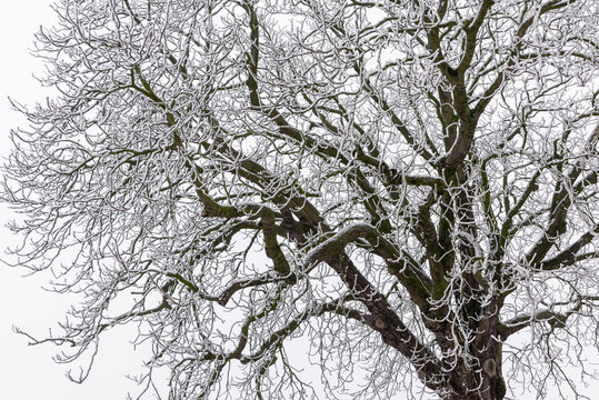 Branches of a bare deciduous tree covered with fresh snow during winter