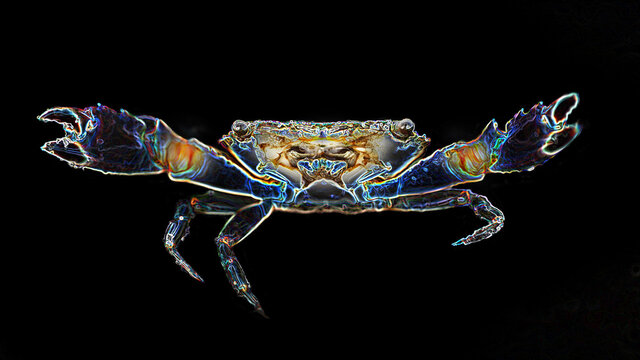 crab with big claws about to fight, this crustacean is a formidable fighter. macro photo of the sea life on the island of Koh Lanta Thailand. digital neon light effect, black background