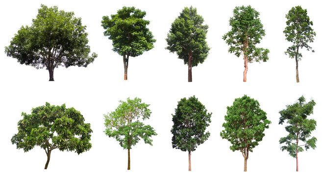 Tree collection, Beautiful large, tropical tree set suitable for use in design or decoration, isolated on a white background