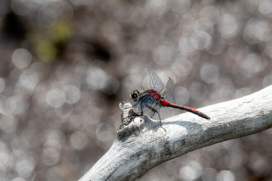 Boreal Whiteface Dragonfly (Leucorrhinia borealis) Perched on a Dead Log at a Lake in the Mountains of Colorado