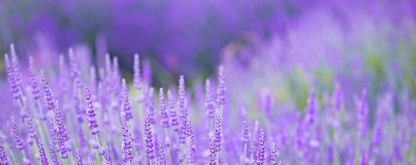 Panorama sunset over a lavender field.
