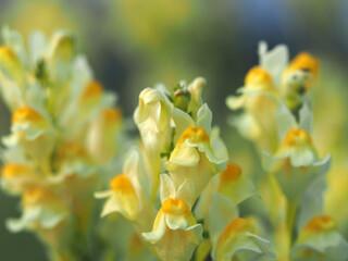 Bellardia trixago yellow and orange flower