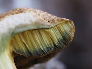 Suillus granulatus mushroom close up