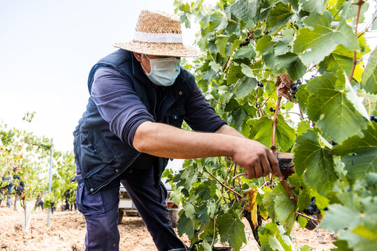 vineyard at harvest time