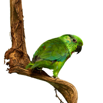 Isolated on white background, Salvadori's fig parrot, Psittaculirostris salvadorii salvadorii. Papua province in Indonesia. Green parrot, male with orange breast and yellow feathers around eyes.