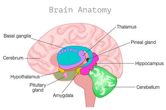 Brain anatomy. Central nervous system diagram. Head organ parts, limbic system, basal ganglia, hypothalamus, cerebellum, pineal, pituitary gland, hypothalamus, ventricles, choroid plexus. Vector