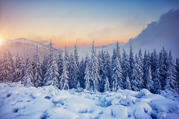 Wall Mural - Awesome winter landscape with spruces covered in snow.