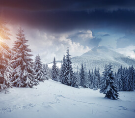 Wall Mural - Idyllic view of spruces covered in snow. Frosty day, exotic wintry scene.