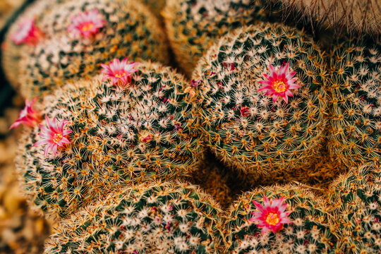 Detail of cactus in bloom with beautiful pink flowers