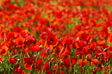 Red poppies flowers blooming in a wild field