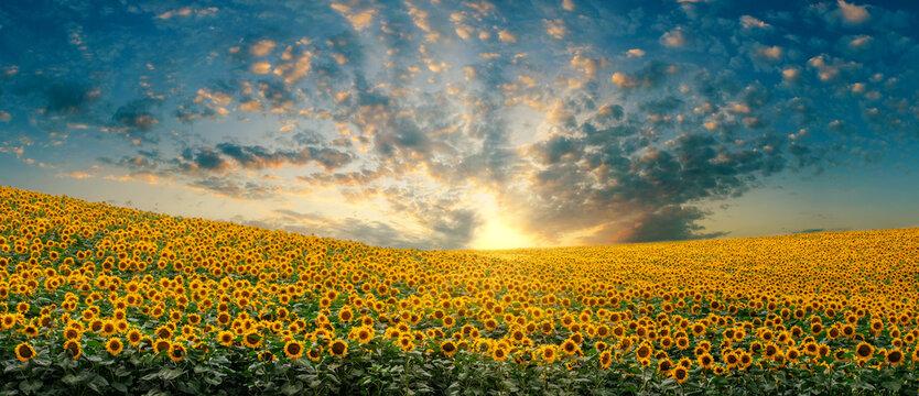 Bright sunset over a sunflower field. summer landscape.