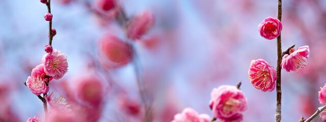 ピンクの梅 ワイド横長画像